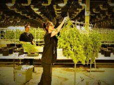 Setting Up a Medical Marijuana Cannabis Dispensary